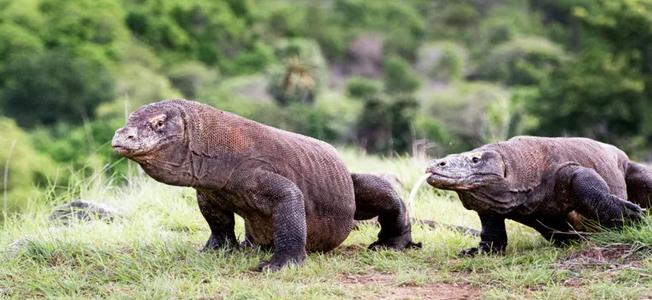 Komodo Dragon discovery