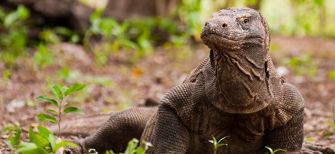 Komodo Dragon Closing