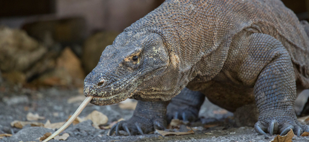 Komodo Dragon Tours